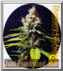 Bulldog Blueberry 420 Auto Fem 5 Weed Seeds
